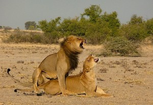 Lion Passion